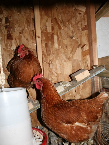 Chilly chickens in a chilly coop
