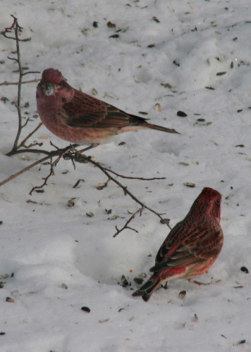 Purple Finch - males