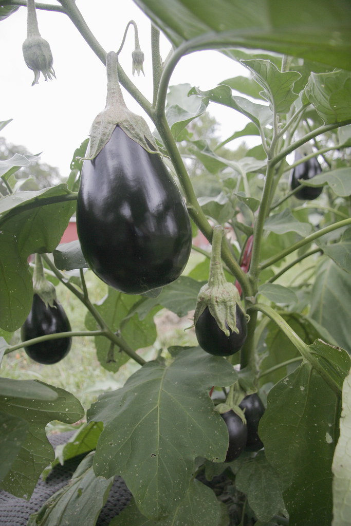 eggplants looking delicious