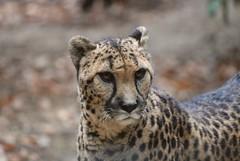 Gepard in der Safari de Peaugres