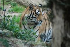 Sibirischer Tiger im Parc zoologique et botanique de Mulhouse