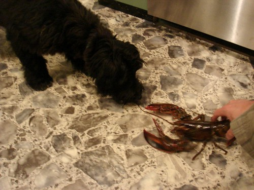 For fun...Papa showed her a REAL lobster....go ahead Stella....just try and tear the eyes off THAT lobster!!!  Triple Dog Dare YA!