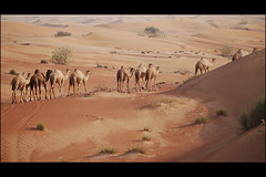 A flock of camels in the desert