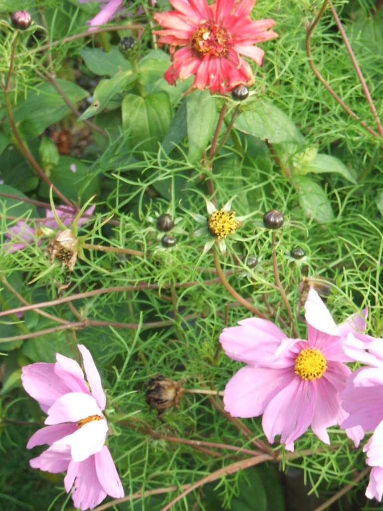 Cosmos and Zinnias