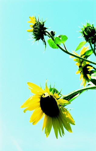 X-Pro Sunflowers. (Fuji Velvia 50 — Cross-Processed. Nikon F100. Epson V500.)