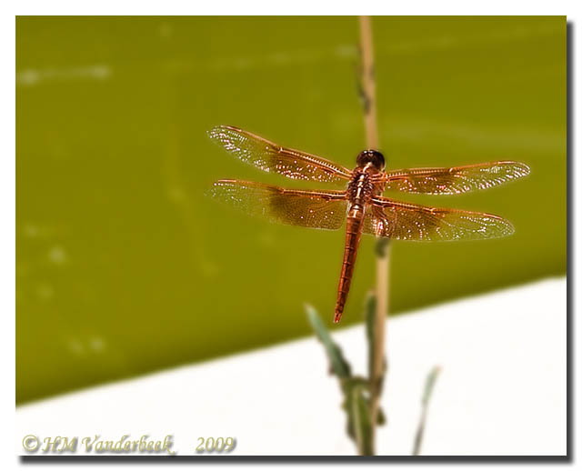 Copper Dragon Fly