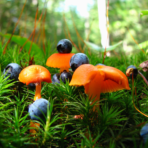 Tyoga_orangeshroom_wblueberries_7321SQ
