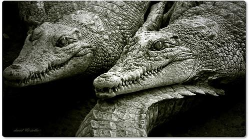 crocodiles up close