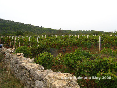 Vineyard of Dobričić