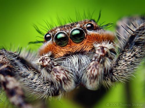 Adult Male Platycryptus undatus Jumping Spider