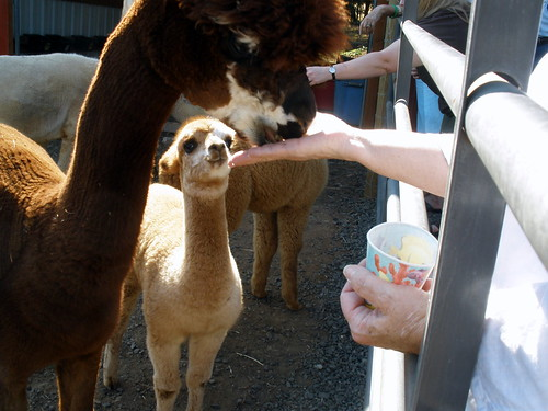 Hungry cria