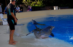 Dolphins & trainers at The Secret Garden of Siegfried & Roy