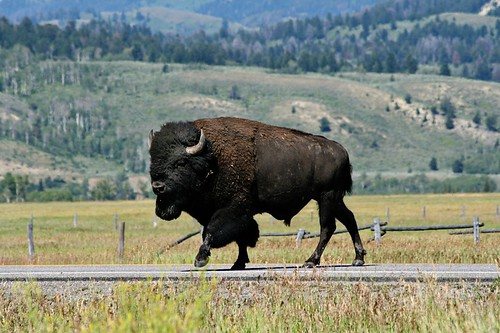From todays motorcycle ride.  A buffalo crossing Rt. 191 near Jackson, WY.