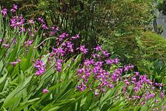泉の森のシラン(Orchid, Izuminomori Park, Yamato, Kanagawa, Japan)