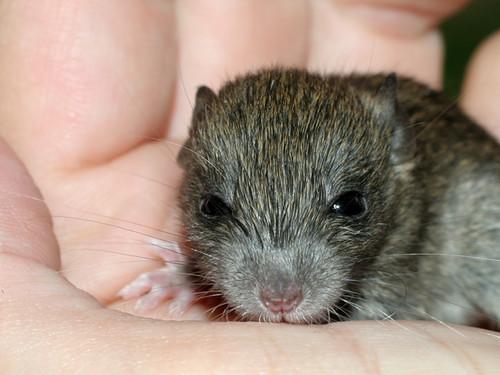 Baby-Rat2