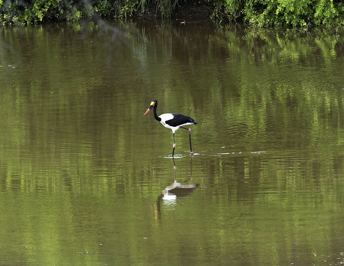 Saddle-billed Stork @ Shingwedzi