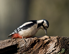 Greater Spotted Woodpecker - female