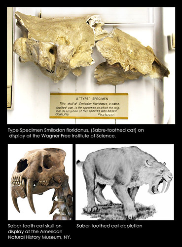 Specimen of the month! June 2011, Saber Tooth Cat
