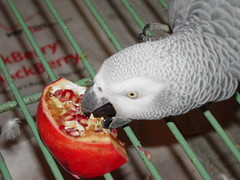 Pepper eats pomegranate