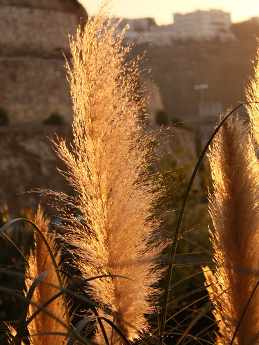 Pampas grass at sunset