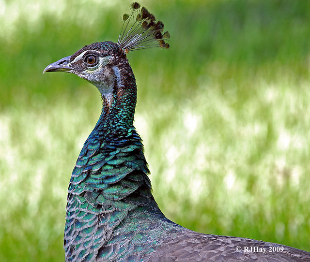 Peahen finery - Punta Cana - 2009