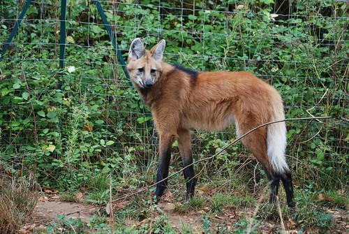 Mähnenwolf in der Réserve Zoologique de Calviac