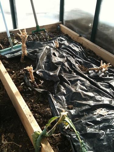 Kale w/o row cover through the winter