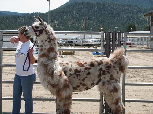 speckled llama