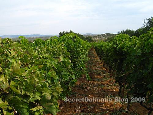 Typical Northern Dalmatian vineyard