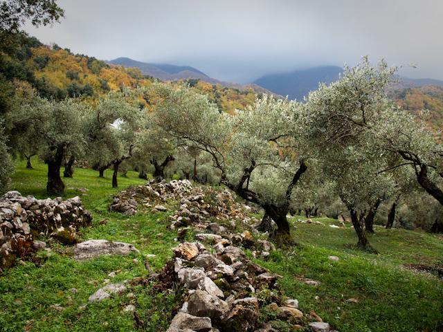 Livada de măslini