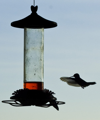 hummingbird cropped