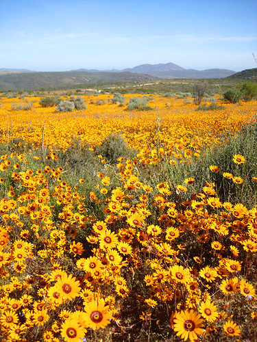 Namqualand wildflowers2