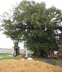 Kallala Tree (by Raju's Temple Visits)