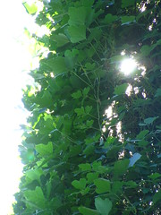 Kudzu Light