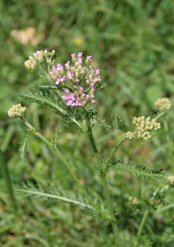 Yarrow cultivar