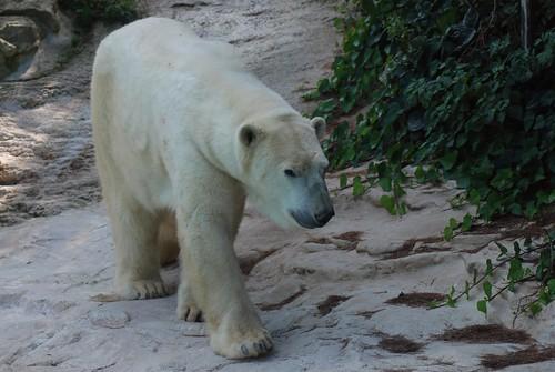 Eisbär Tromsö im Zoo d'Amnéville