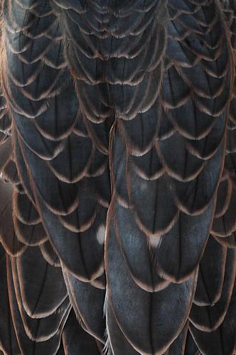Saker Falcon Feathers