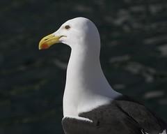 Cape Gull (Larus dominicanus vetula)