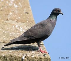 Just a Scottish Pigeon - Stewarton, Scotland
