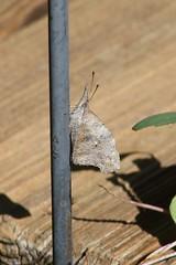 American Snout (Libytheana carinenta)