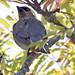 Adult Cedar Waxwing