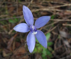 Cyanicula sericea_1266