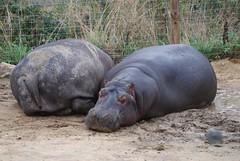 Flusspferde in der Safari de Peaugres
