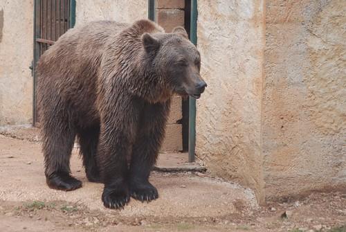 Barunbär im Parc animalier de Gramat