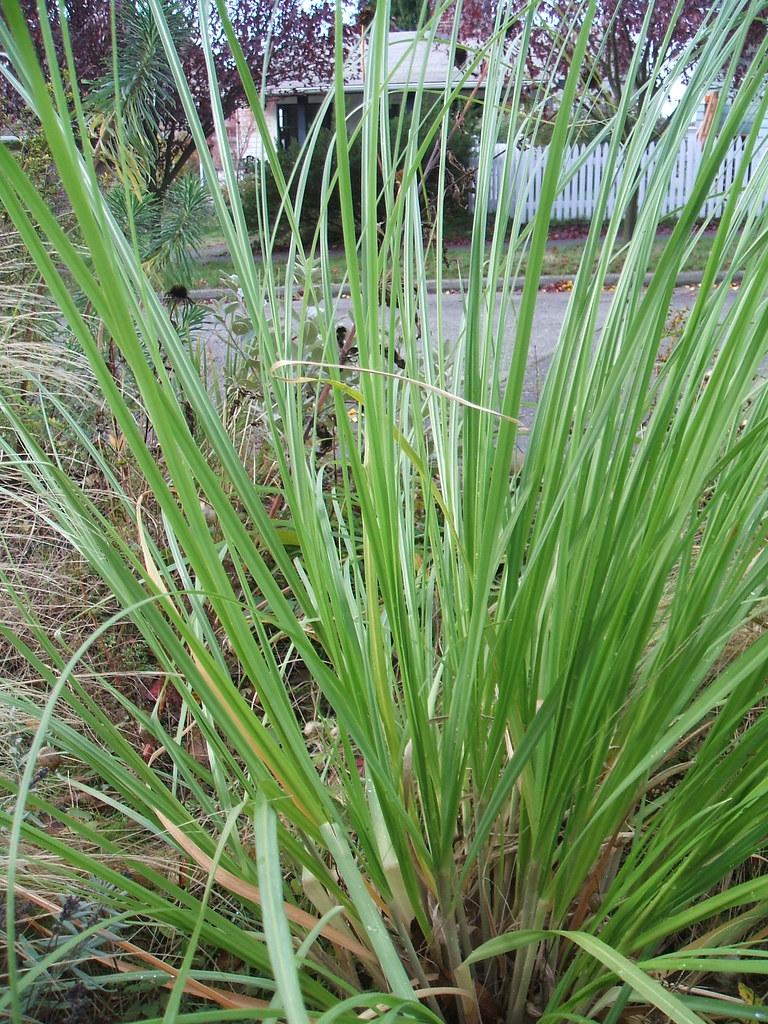 Mystery grass in parking strip