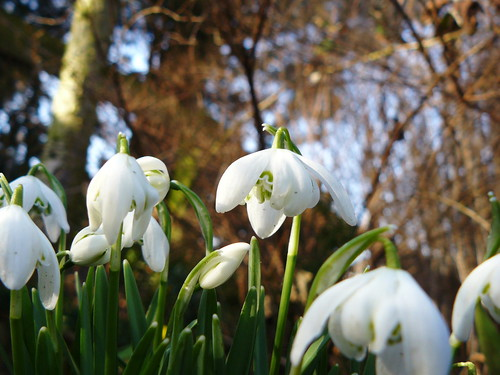 Snowdrops and a blue sky