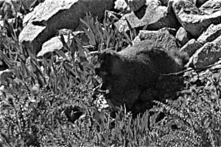 Killer Mountain Beaver