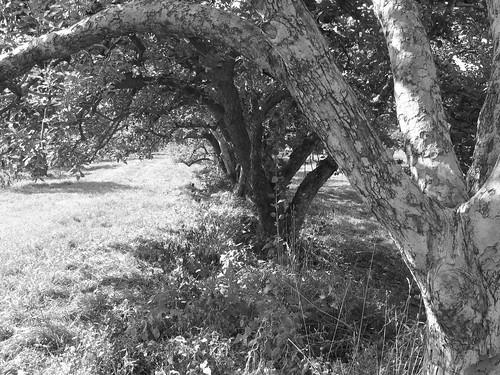 orchard bw