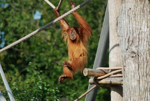 Orang-Utan im Zoo d'Amnéville