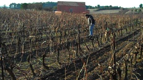 Dad prunes the vines back in winter